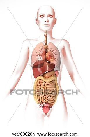 Verwonderend Anatomie, van, vrouwelijk lichaam, met, intern, organs. Tekening XY-72
