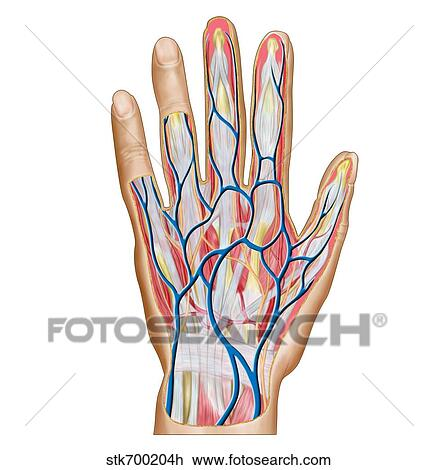 Clip Art Of Anatomy Of Back Of Human Hand Stk700204h Search