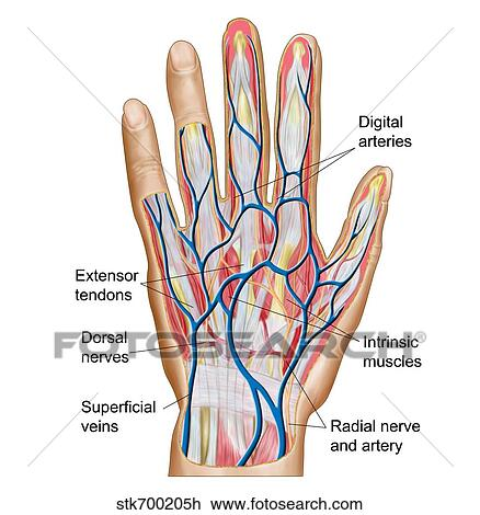 Clip Art of Anatomy of back of human hand. stk700205h - Search ...