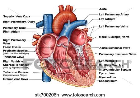 Clip Art of Anatomy of heart interior, frontal section. stk700206h ...