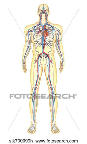 Clip Art Of Anatomy Of Human Body And Circulatory System Front View