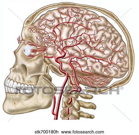 Clip Art Of Anatomy Of Human Skull Eyeball And Arteries To Brain