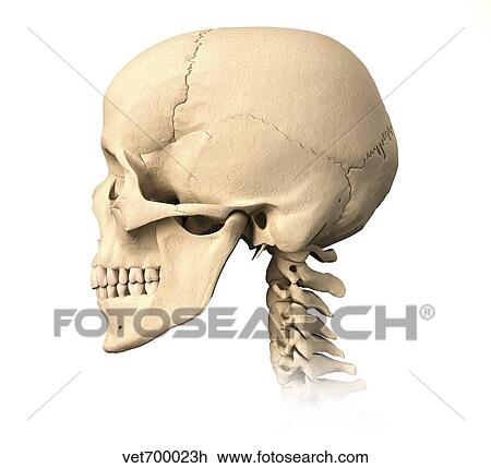 Clip Art Of Anatomy Of Human Skull Side View Vet700023h Search