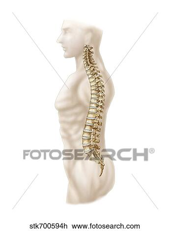 Clip Art Of Anatomy Of Human Vertebral Column Left Lateral View