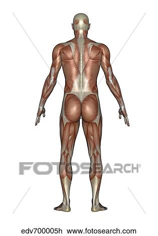 Clip Art of Anatomy of male muscular system, back view. edv700005h ...