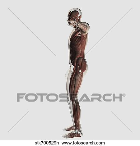 Clip Art Of Anatomy Of Male Muscular System Side View Stk700529h