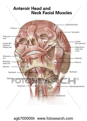 Clip Art - anterior, cuello, y, músculos faciales, de, el, cabeza ...