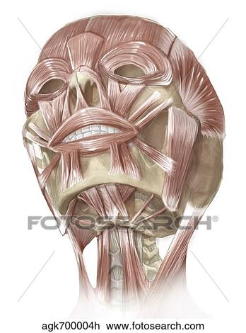 Clip Art Of Anterior Neck And Facial Muscles Of The Human Head