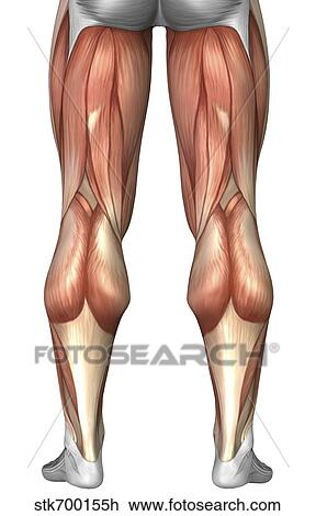 Clip Art of Diagram illustrating muscle groups on back of human legs ...