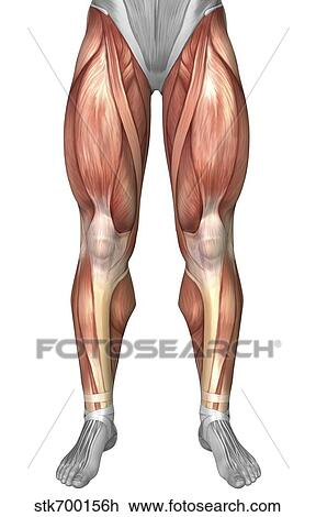 Clip Art Of Diagram Illustrating Muscle Groups On Front Of Human