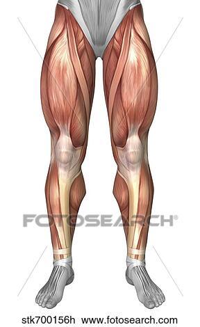 Clip Art - diagrama, ilustrar, músculo, grupos, en, frente, de ...
