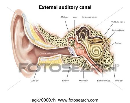 Ear diagram no label clip art wiring library clip art of external auditory canal of human ear with labels rh fotosearch com unlabeled ear diagram ear parts diagram ccuart Images