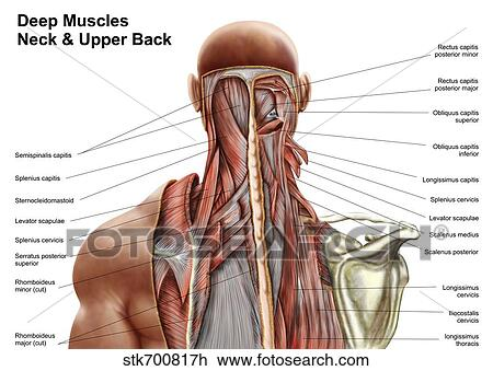 Clip Art Of Human Anatomy Showing Deep Muscles In The Neck And Upper