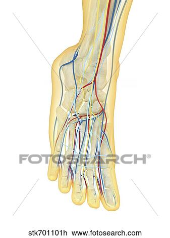 Human Foot With Nervous System Lymphatic System And Circulatory System Drawing Stk701101h Fotosearch