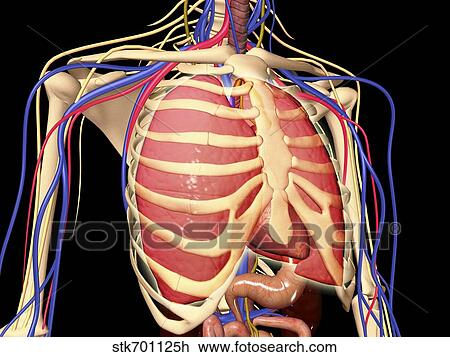 Clip Art Of Human Rib Cage With Lungs And Nervous System Stk701125h
