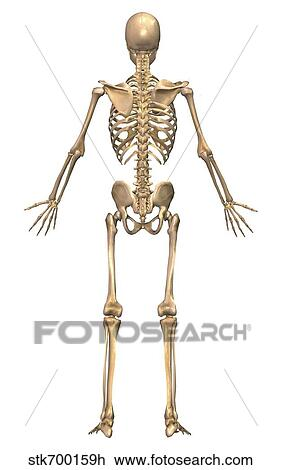Clip Art of Human skeletal system, back view. stk700159h - Search ...