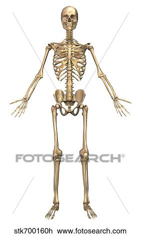 Clip Art of Human skeletal system, front view. stk700160h - Search ...
