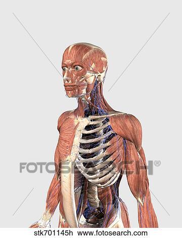 Clip Art - humano, cuerpo superior, actuación, músculo, partes ...
