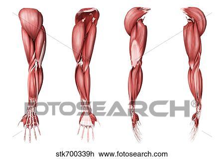 Clip Art - ilustración médica, de, brazo humano, músculos, cuatro ...