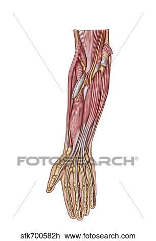 Clip Art - koerperbau, von, menschlich, unterarm, muskeln, tief ...