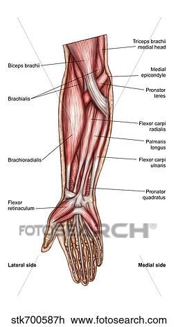 Clip Art - koerperbau, von, menschlich, unterarm, muskeln ...