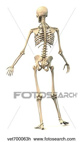 diagram of male skeleton male human skeleton in dynamic posture  rear view drawing  male human skeleton in dynamic posture