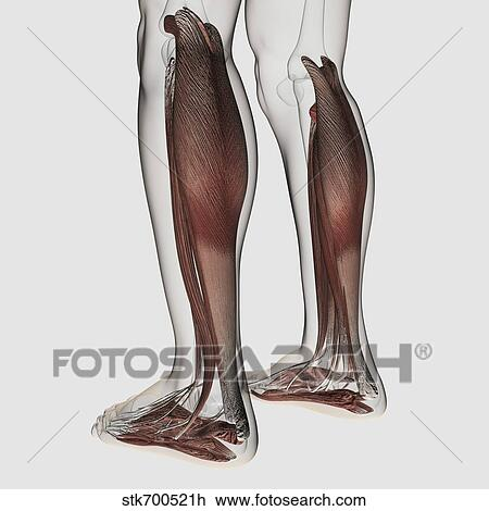Clip Art Of Male Muscle Anatomy Of The Human Legs Anterior View