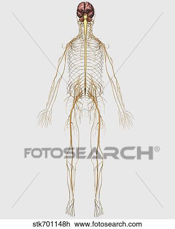 Clip Art Of Medical Illustration Of Peripheral Nervous System With