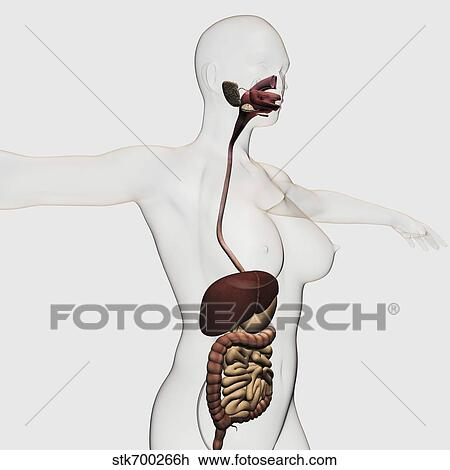 Medical Illustration Of The Human Digestive System Drawing