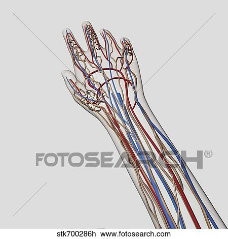 blauwe aders op handen