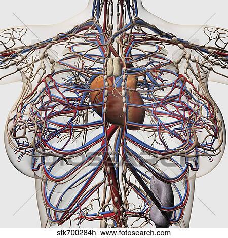 Clip Art - medizinische abbildung, von, weibliche brust, arterien ...