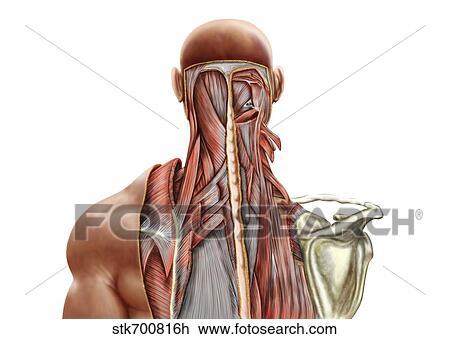 Clip Art - menschliche anatomie, ausstellung, tief, muskeln, in ...