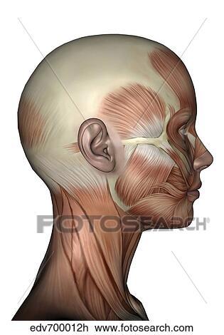Clip Art - menschliche anatomie, von, weiblich, gesichts muskeln ...