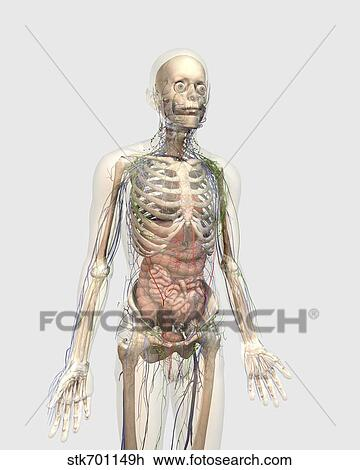 Clip Art - menschlicher körper, mit, innere organe, lymphatisches ...