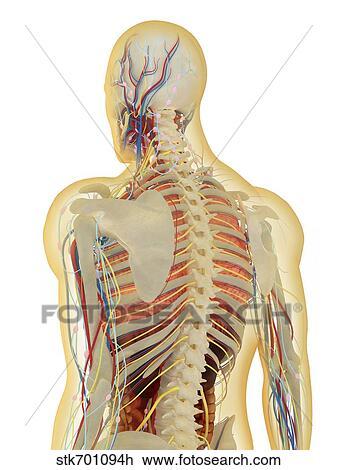 Clip Art - menschlicher körper, mit, nervensystem, lymphatisches ...