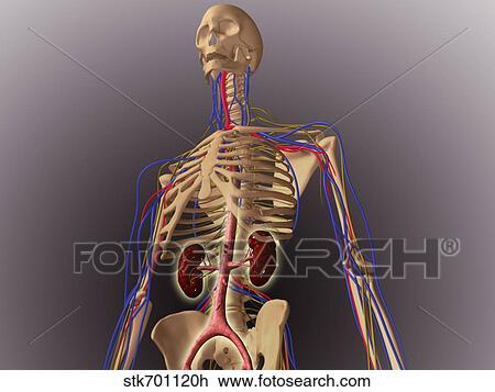 Clip Art - menschliches skelett, ausstellung, nieren, und, nervös ...