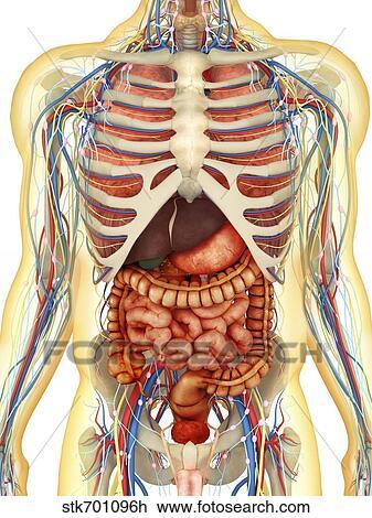 menselijk lichaam, met, inwendige organen, zenuwgestel, lymphatic