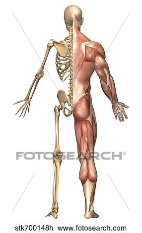Clip Art of The human skeleton and muscular system, back view ...