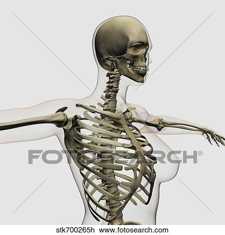 Clip Art Of Three Dimensional View Of Female Rib Cage And Skeletal