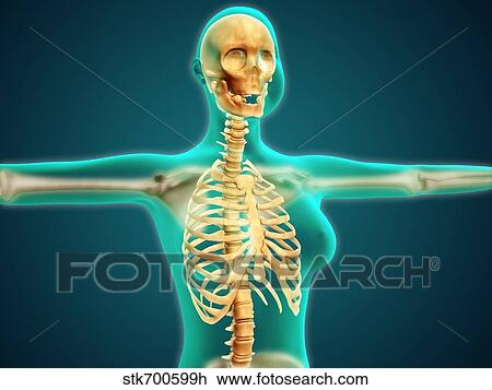 Clip Art Of X Ray View Of Female Upper Body Showing Rib Cage Spine