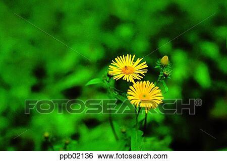 Elecampane Fleur Jaune Deux Fleurs Champ Fleur Fleur Sauvage