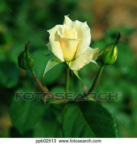 Banque De Photo Fleur Rose Blanche Plante Nature Rose Rose