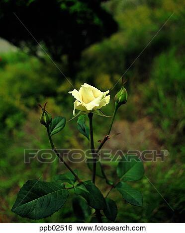 Banque D Images Fleur Rose Blanche Plante Nature Rose Rose