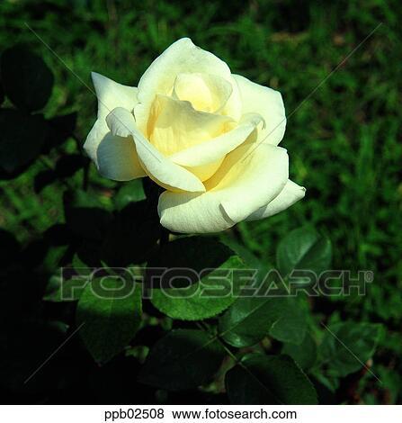 Images Fleur Rose Blanche Plante Nature Rose Rose Ppb02508
