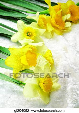 Banque De Photo Fleur Jonquille Narcisse Tissus Tissu Tissu
