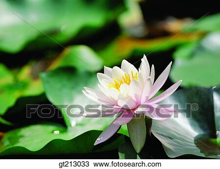 Pond Lotus Leaves Lotus Leaf Lotus Flower Marine Life Marine