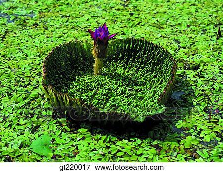 Picture of korea lotus leaves lotus leaf lotus flower lotus korea lotus leaves lotus leaf lotus flower lotus lotus flower upo swamp mightylinksfo