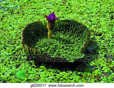 Korea Lotus Leaves Lotus Leaf Lotus Flower Lotus Lotus Flower