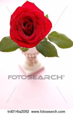 Rose, rose flower, plant, flower vase, decoration, flower
