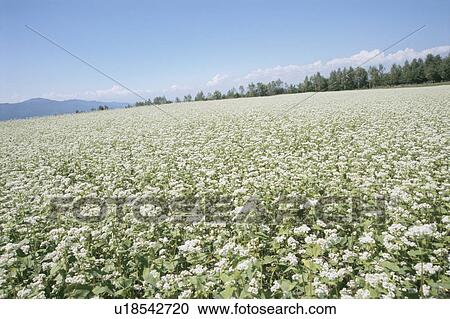 Stock photography of field of white flowers haramura nagano field of white flowers haramura nagano prefecture japan mightylinksfo
